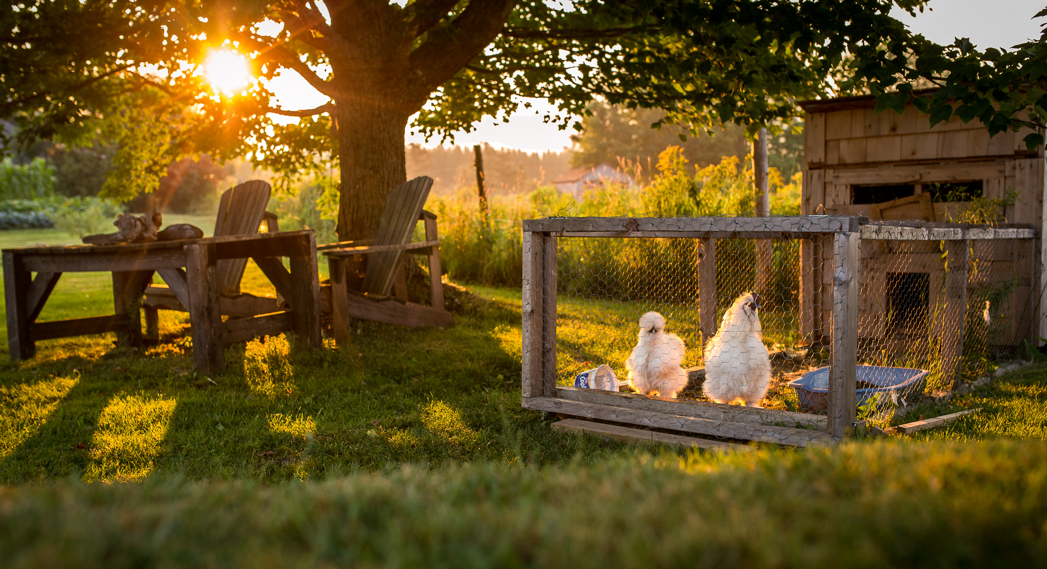 Silky chickens on the farm at sunrise