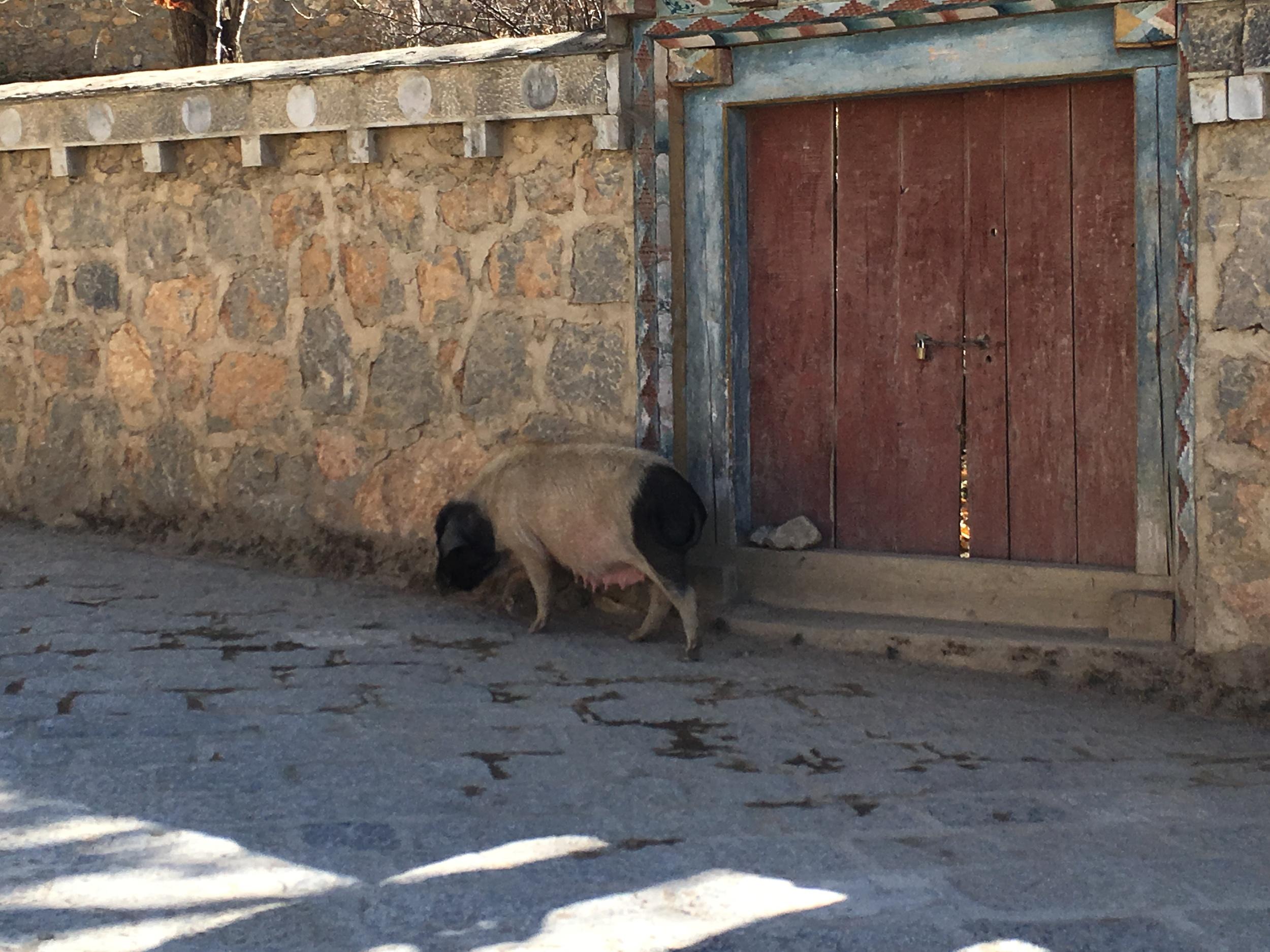 Pig outside Songzanlin Monastery in Shangri La