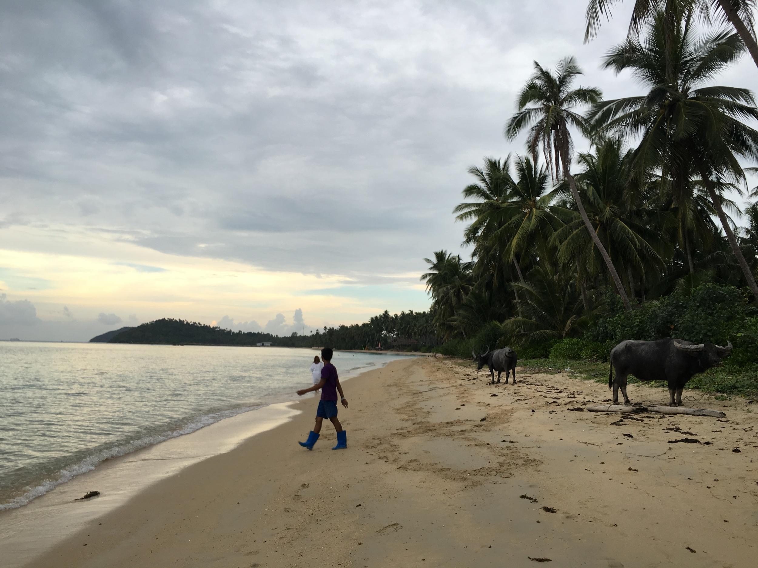 Buffalo on beach