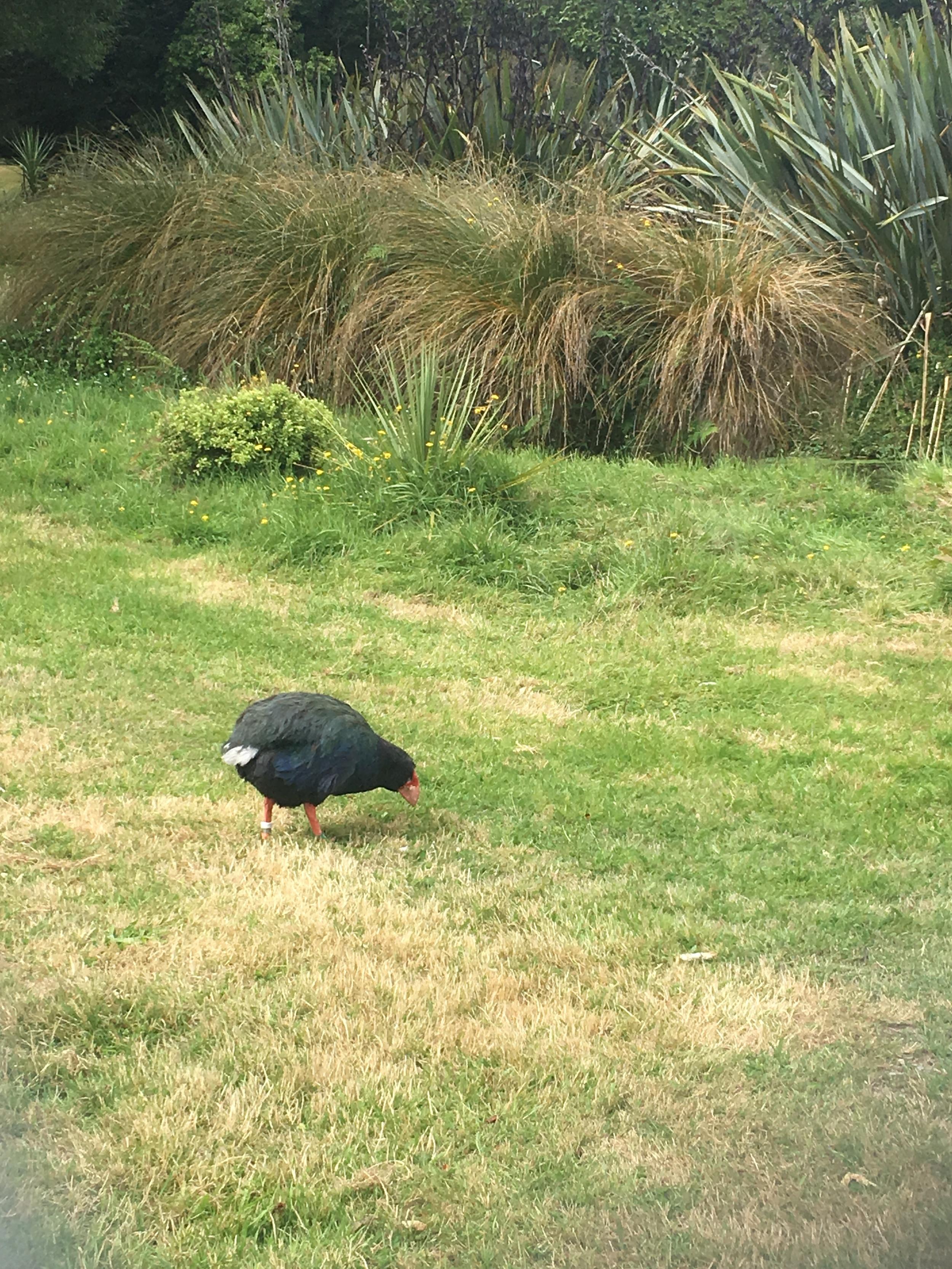 Takahe! An indigenous flightless bird