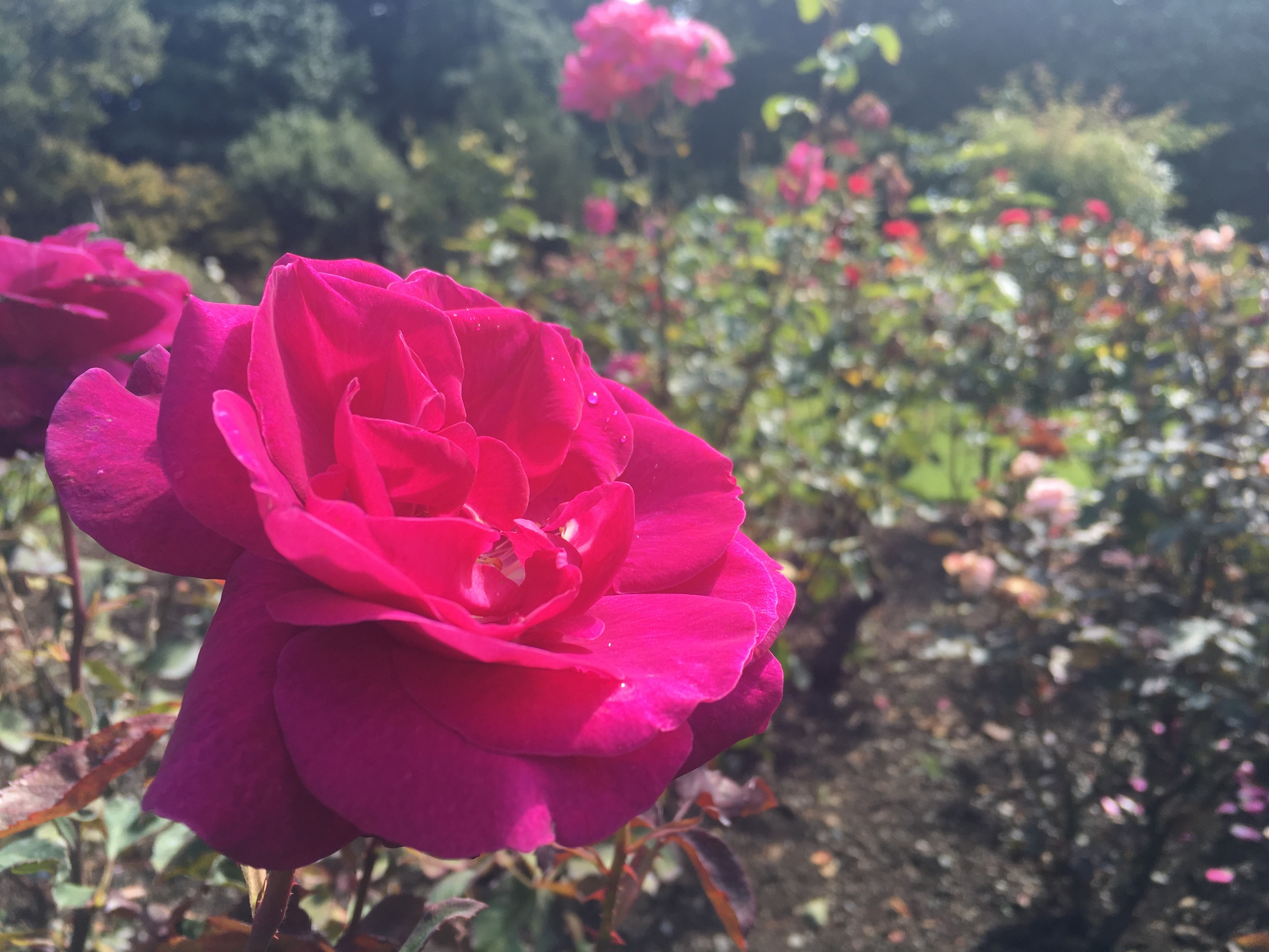 Rose garden at Queens Park, Invercargill