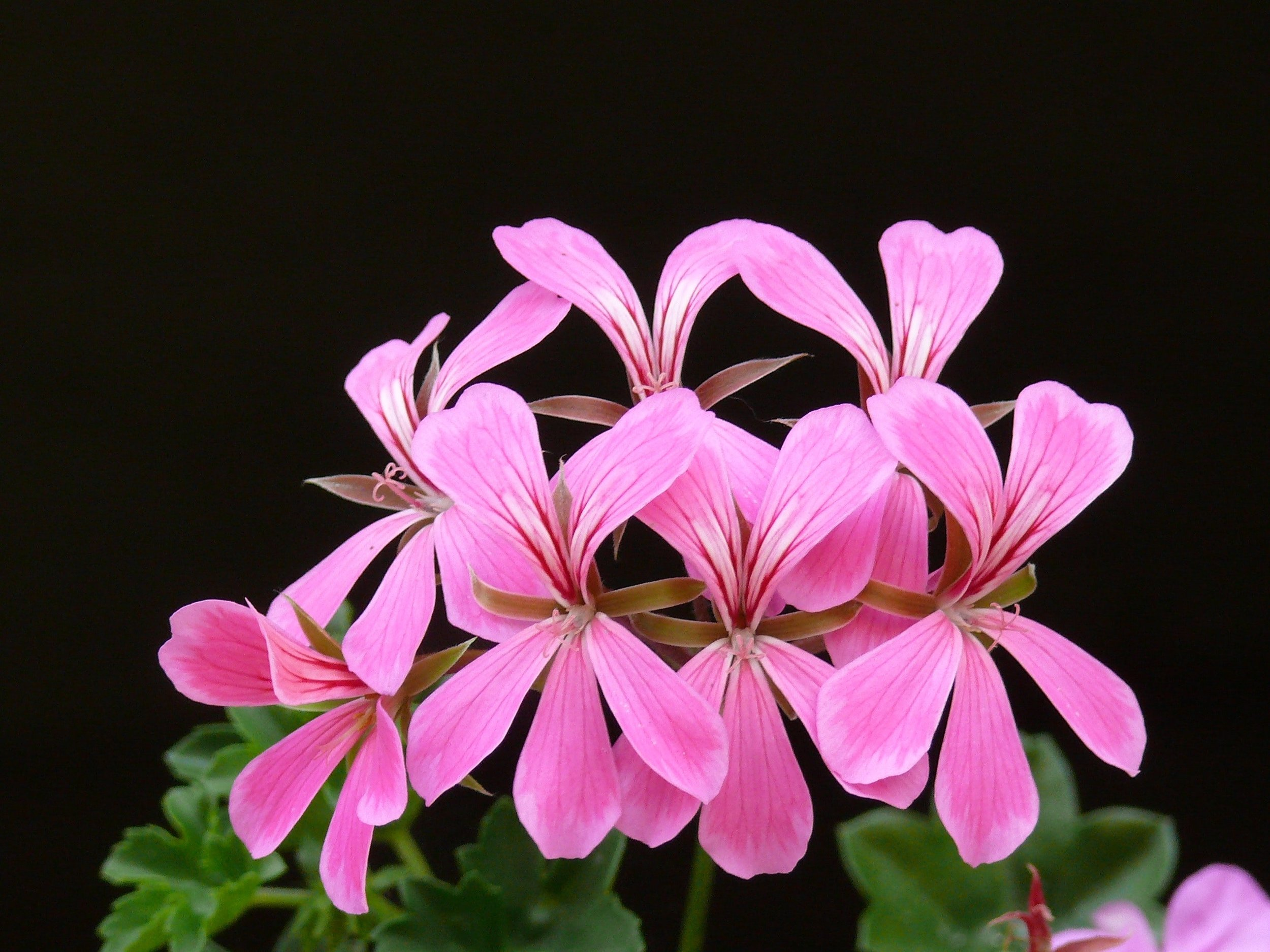 bloom-blossoms-cascading-geranium-53347.jpg