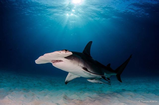 #Sharks are majestic #animals, who have been around for MILLIONS of years! Instead of being scared we should make an effort to understand them and learn from their evolutionary history. Did you know that sharks have survived ALL 5 mass extinctions?  Photo by: Tomas Kotouc . . #conservation #predators #balance #underwater #ocean #apex #reefs #hammerhead #protectwhatyoulove #protectwhatyouunderstand #evolution #life #survival #respect