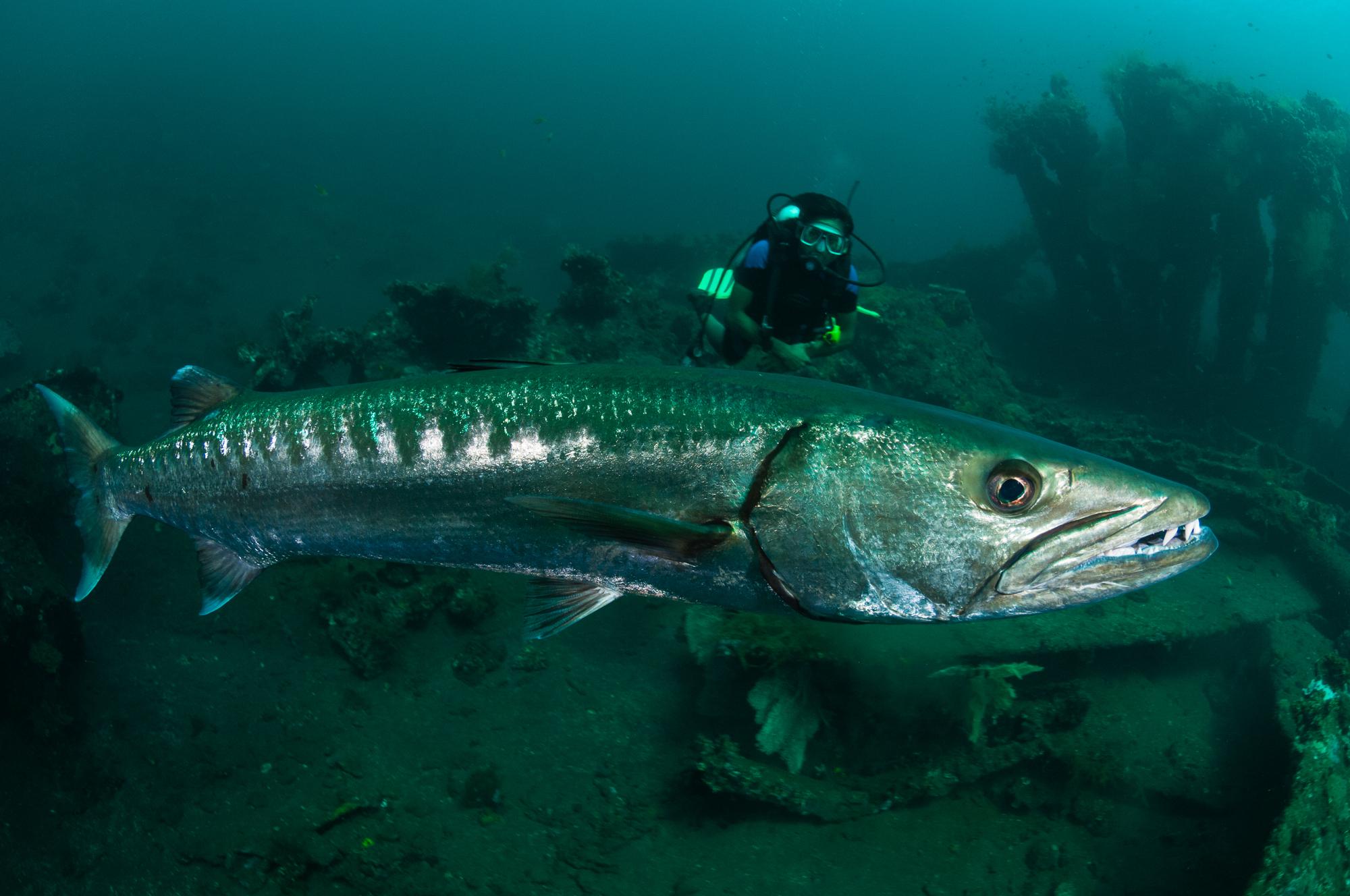 Bali-Tulamben-Barracuda.jpg