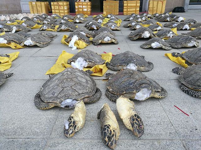 Endangered turtles killed for smuggling. Smugglers captured by Chinese authorities in November 2016 in Guangxi. Story source  here  and  here . Image taken from Naira Naija News.