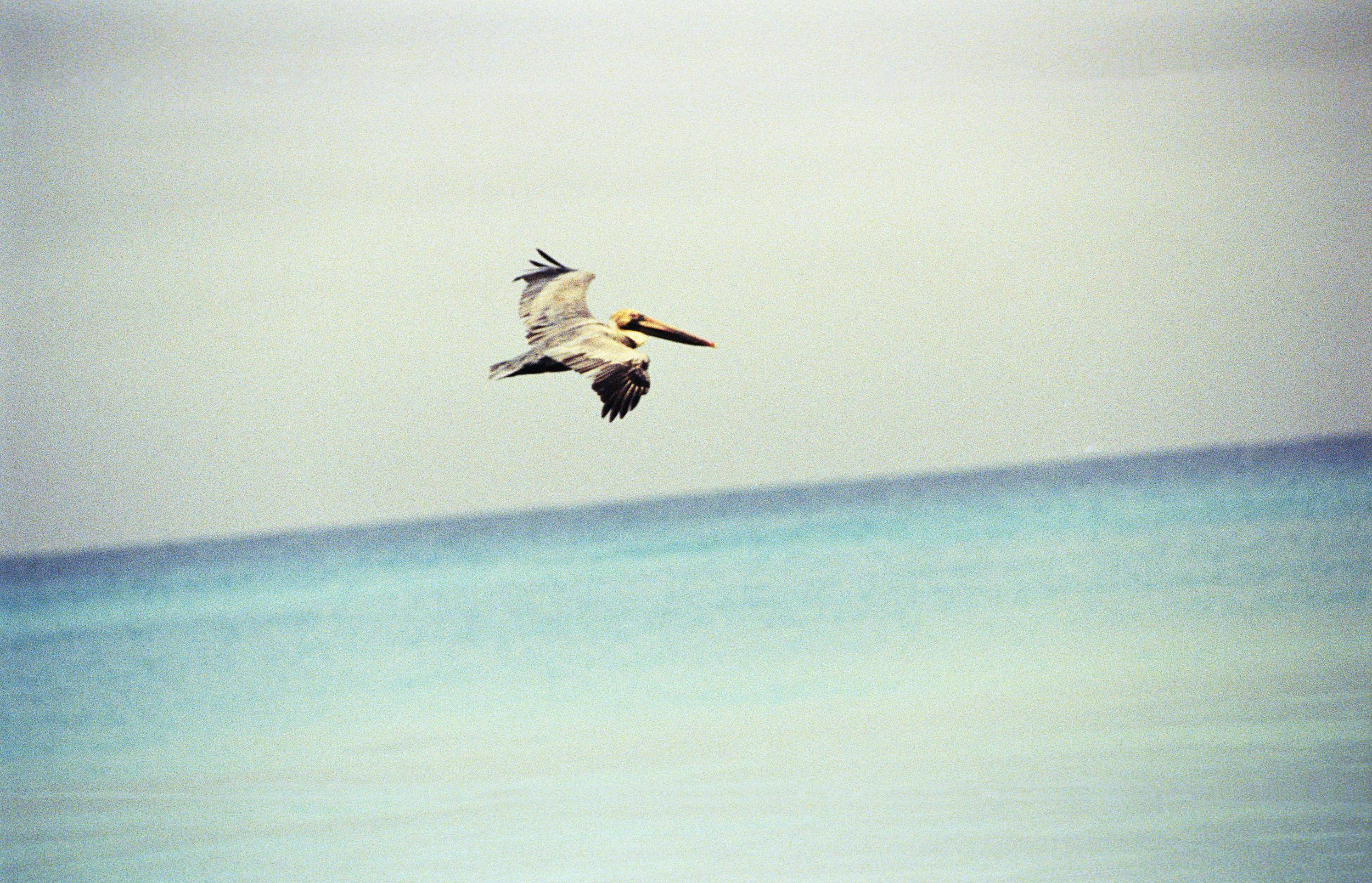 Pelican, Cuba