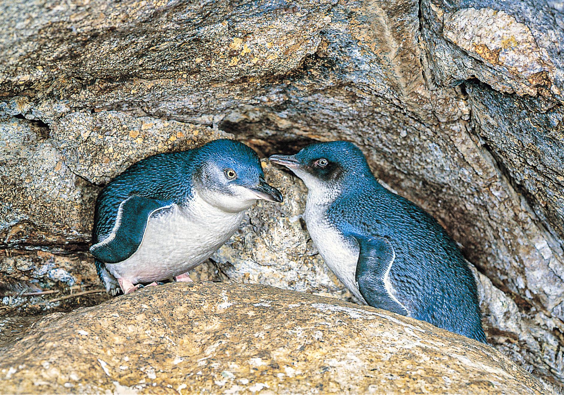 Little Blue Penguin.jpg