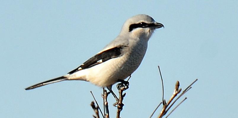 A predatory songbird, the Northern Shrike feeds on small birds, mammals, and insects, sometimes impaling them on spines or barbed wire fences.