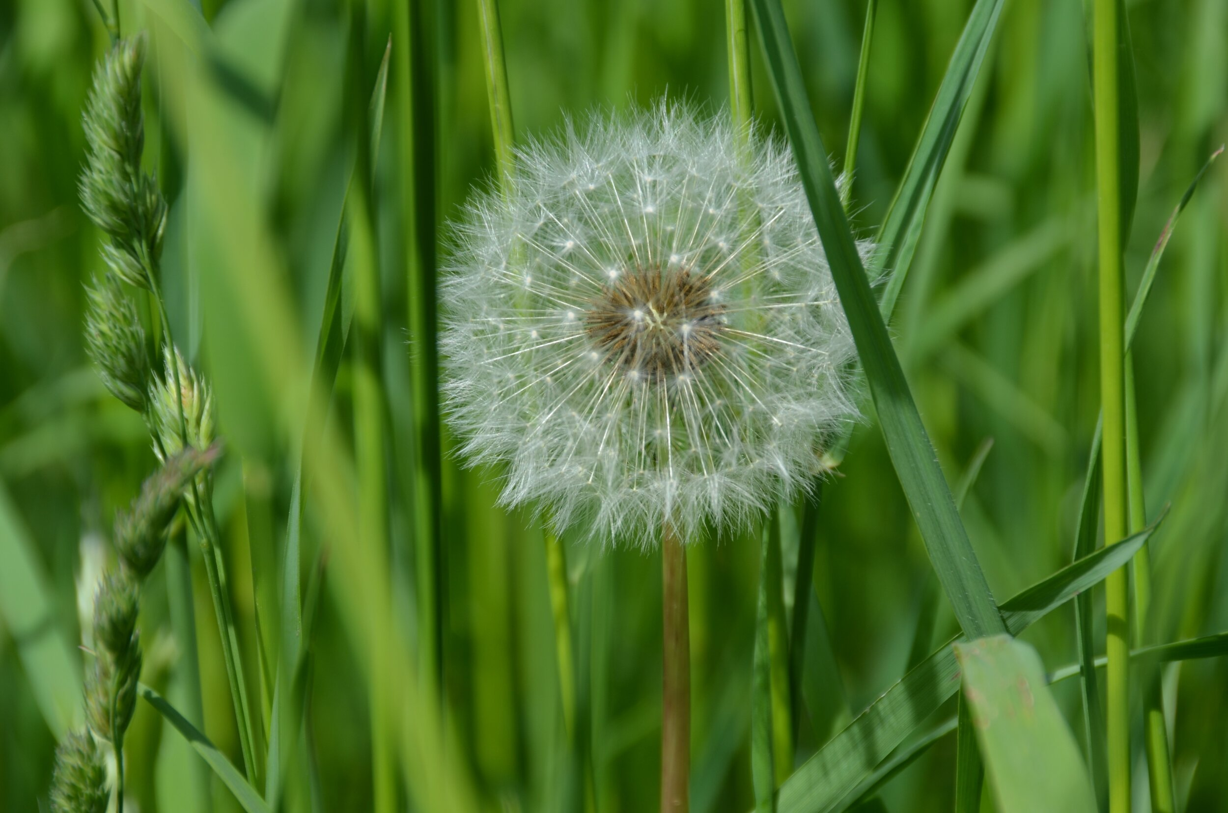Riddle #3 - A dandelion