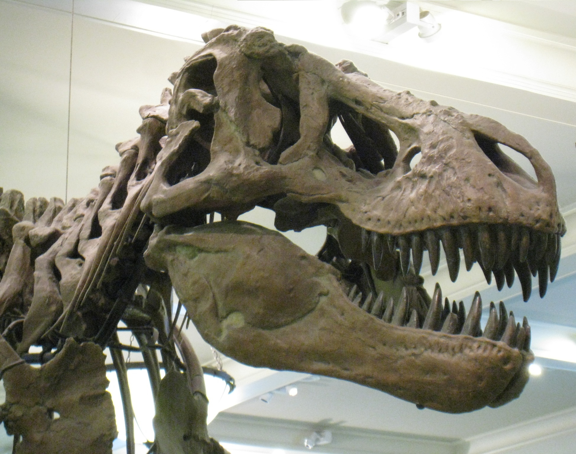 AMNH 5027. Photo by the author.