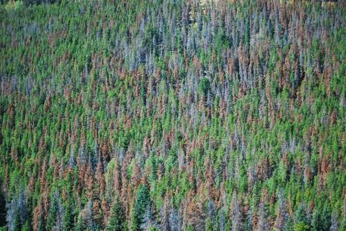 Pine beetle damage in Rocky Mountain National Park, 2010. Photo by Don Becker. U.S. Geological Survey.