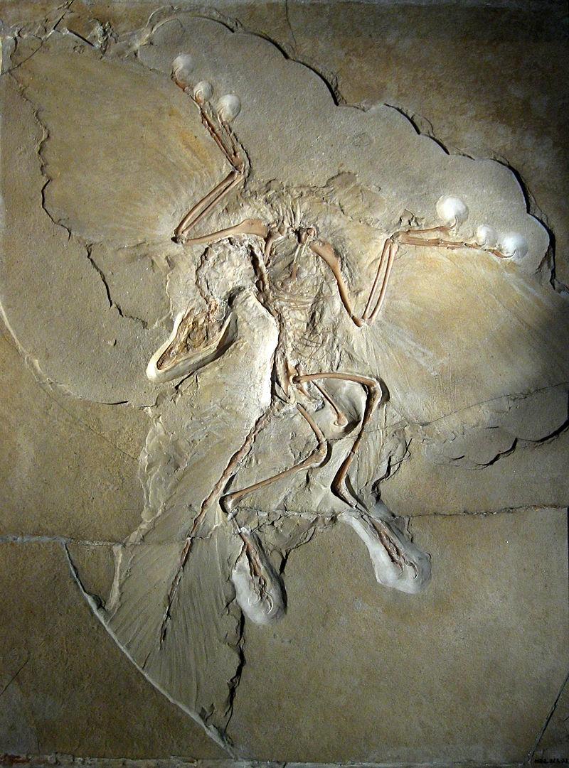 Figure 2:  Archaeopteryx  specimen (not the London specimen) (photo credit: H. Raab).