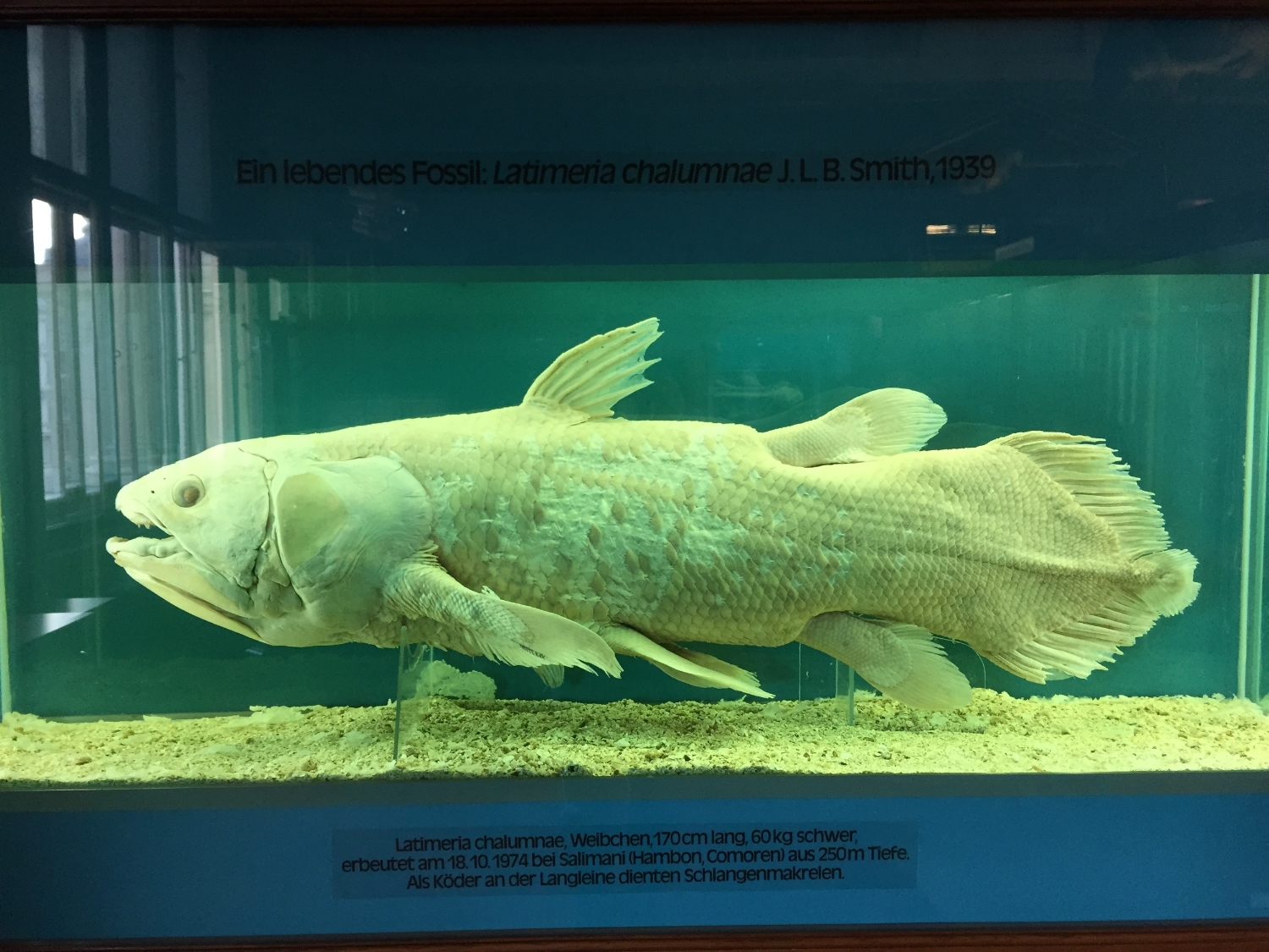 A coelacanth at the Naturhistorisches Museum in Vienna. Some species just seem to go on and on . . . and on and on. They don't have expiration dates. Is this a problem for the theory of species selection?