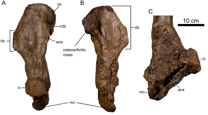 Pathologic left humerus of the  Spiclypeus  specimen. Notice the displacement of the condyles in C) and the aberrant structure and surface texture. Credit: Modified from Figure 12 from Mallon et al., 2016.
