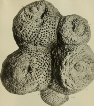 Fossil cycads from N. America, courtesy of Wikimedia commons.