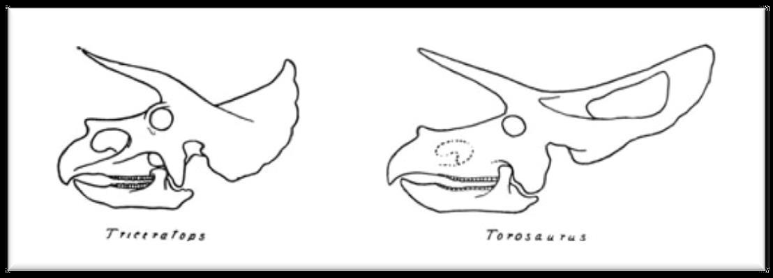 Triceratops  vs  Torosaurus  skull (Image credit: Dinosaurs by W. D. Matthew (1915); public domain.)