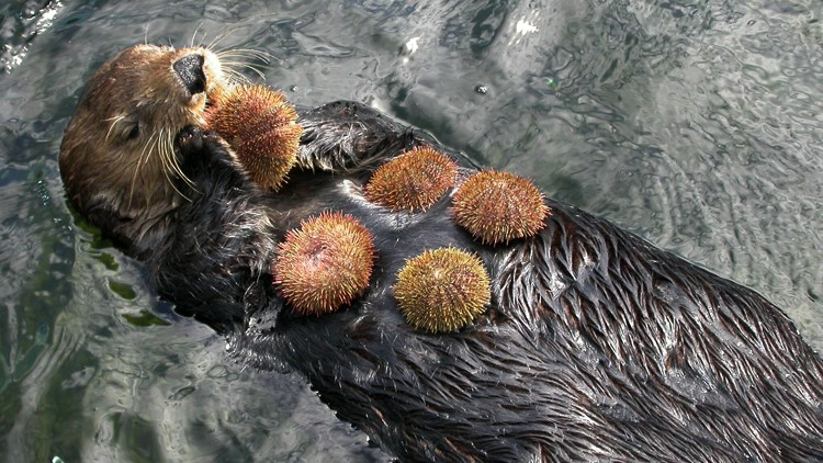 Sea Otter performing its proper trophic function. ( credit )