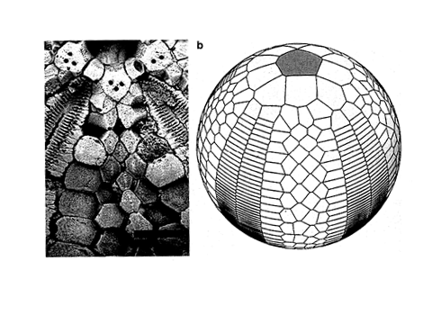 On the left, fossil of stem-group echinoderm, on the right, model with 6 insertion points (from Zachos & Sprinkle 2011)