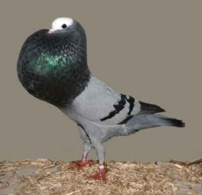 A pouter pigeon. Image courtesy of wikimedia commons.