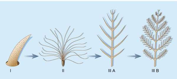 A transformative sequence of feather evolution (from http://people.eku.edu/ritchisong/feather_evolution.htm)
