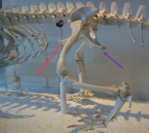 The skeleton of an alligator. The red arrow is pointing at the pubis, which is sticking forward, while the purple arrow indicates the ischium. Image courtesy of wikimedia commons (though I added the arrows).