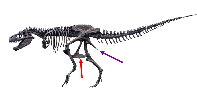 T. rex  has a lizard-like hip joint, with the pubis (red arrow) pointing down and a bit forward, and the ischium (purple arrow) jutting backward. Image courtesy of wikimedia commons (again, with the arrows added).