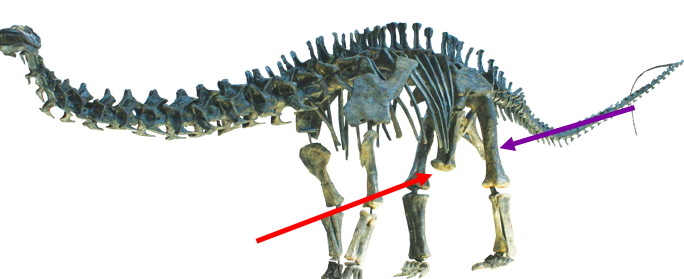 And here's  Apatosaurus . Notice how the pubis (red) also juts forward, away from the ischium (purple). Image courtesy of wikimedia commons.