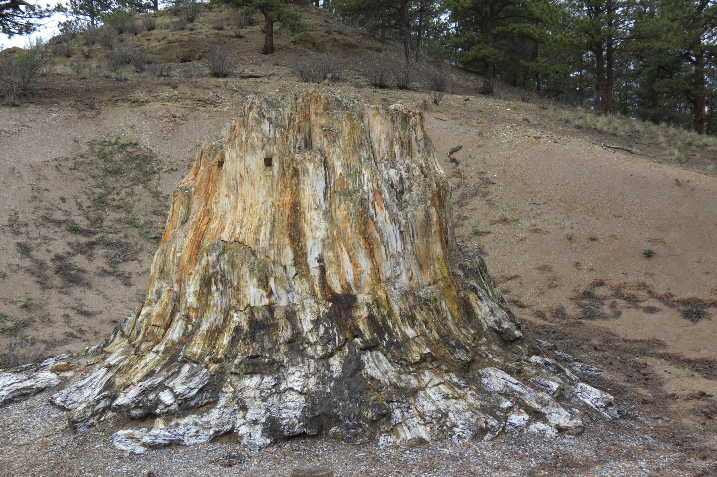 A petrified tree stump at Florissant Fossil Beds National Monument. (There's a little easter egg in this picture too--see if you can find it.) Photo by the author.