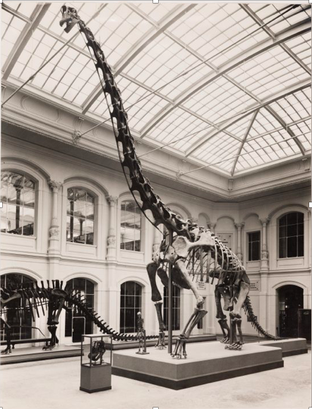 1937 display of  Brachiosaurus brancai  excavated at Tendaguru.