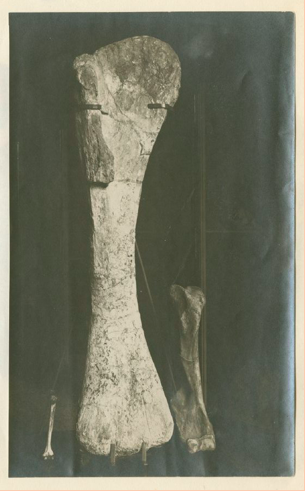 First Tendaguru bone, one  Brachiosaurus  humerus, used by Branca to visually support his speech