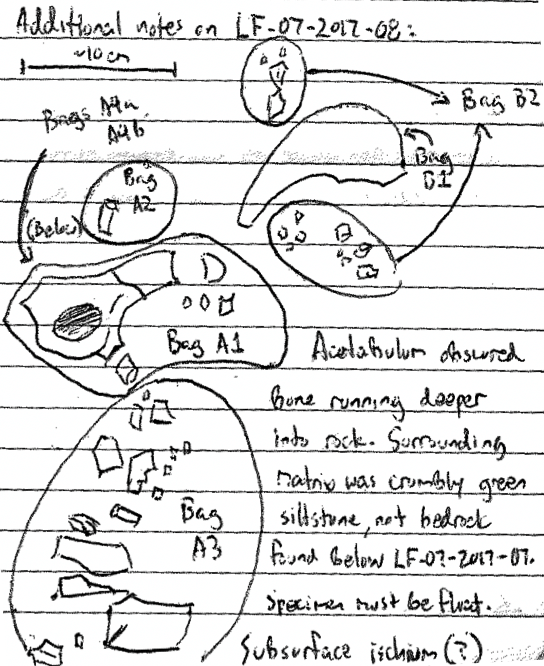 Another fossil sketch with directions indicating where particular fragments have been stored.
