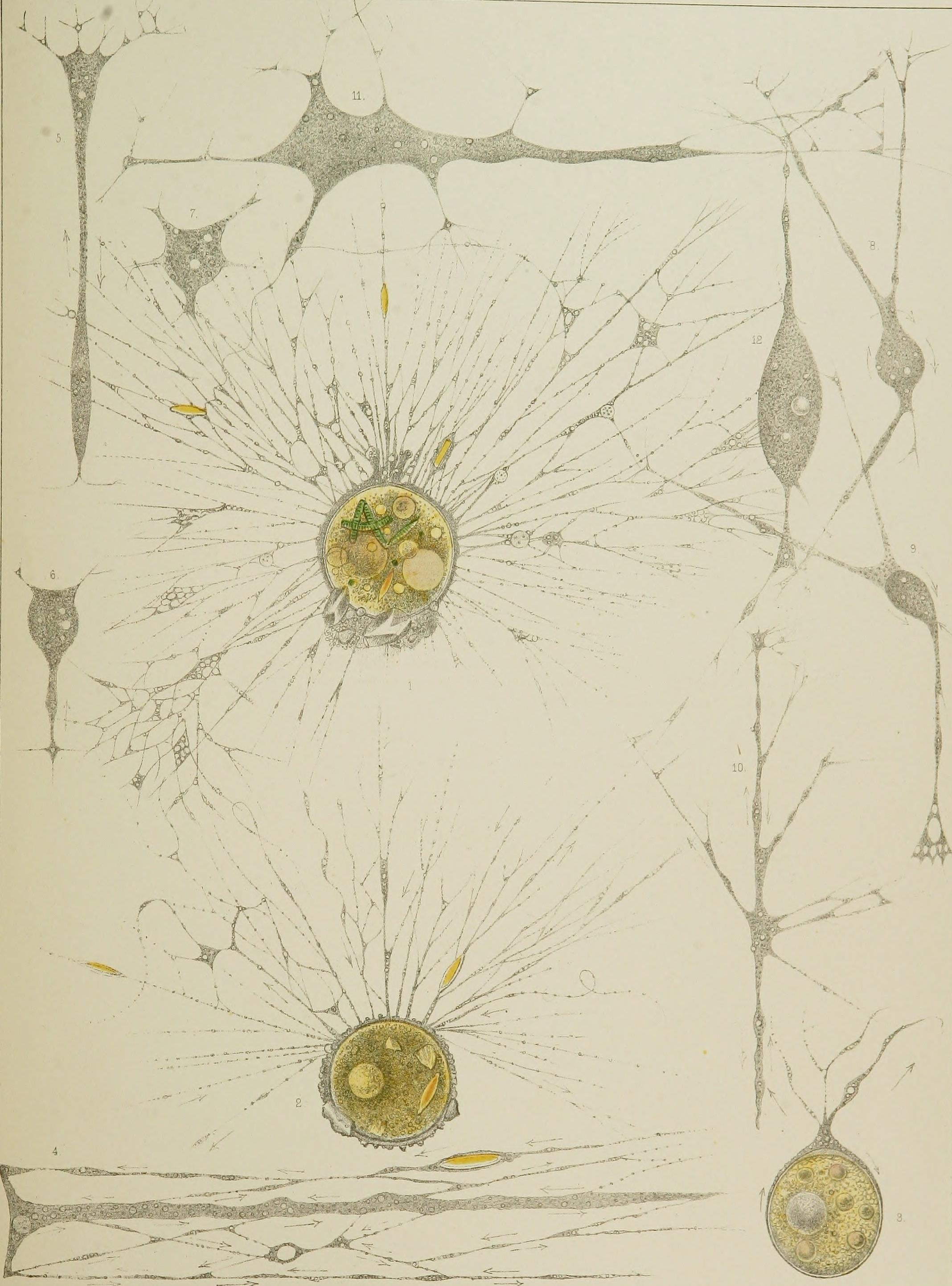 Gromia    and its thread-like pseudopodia (nos. 1–4 only), as pictured in    Leidy (1879)
