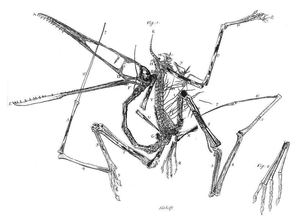 Egid Verhelst II's engraving of the first  Pterodactylus antiquus  specimen, 1784