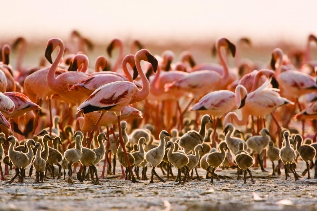 A flamingo creche in Tanzania