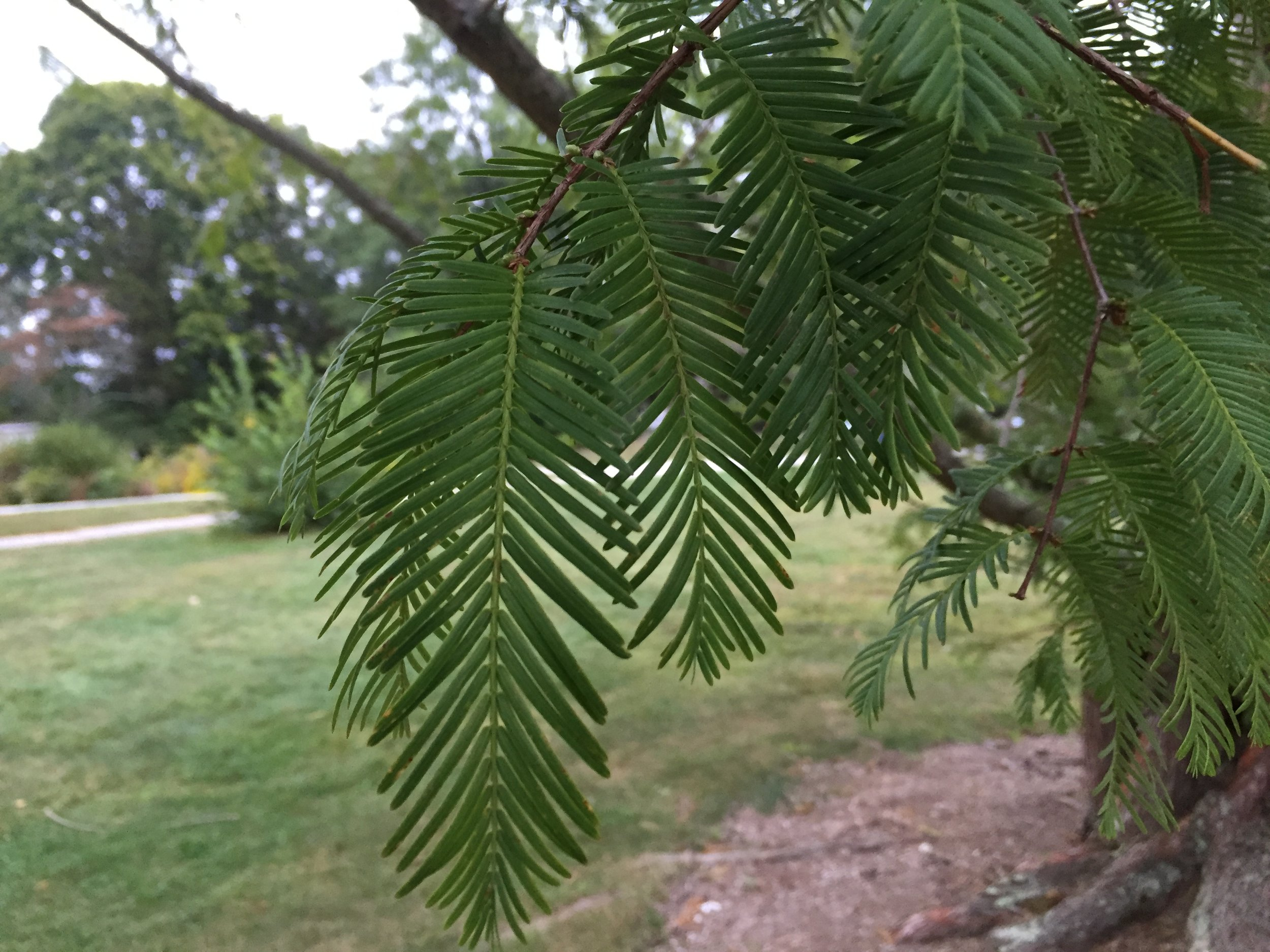 Did you know that metasequias are deciduous conifers? Photo by the author.