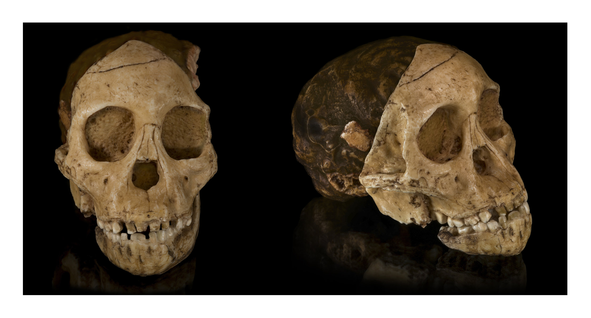 """A cast of the fossil skull known as the 'Taungs Baby,"""" or """"Taung Child,"""" shot from two different angles. Images from Wikimedia Commons."""