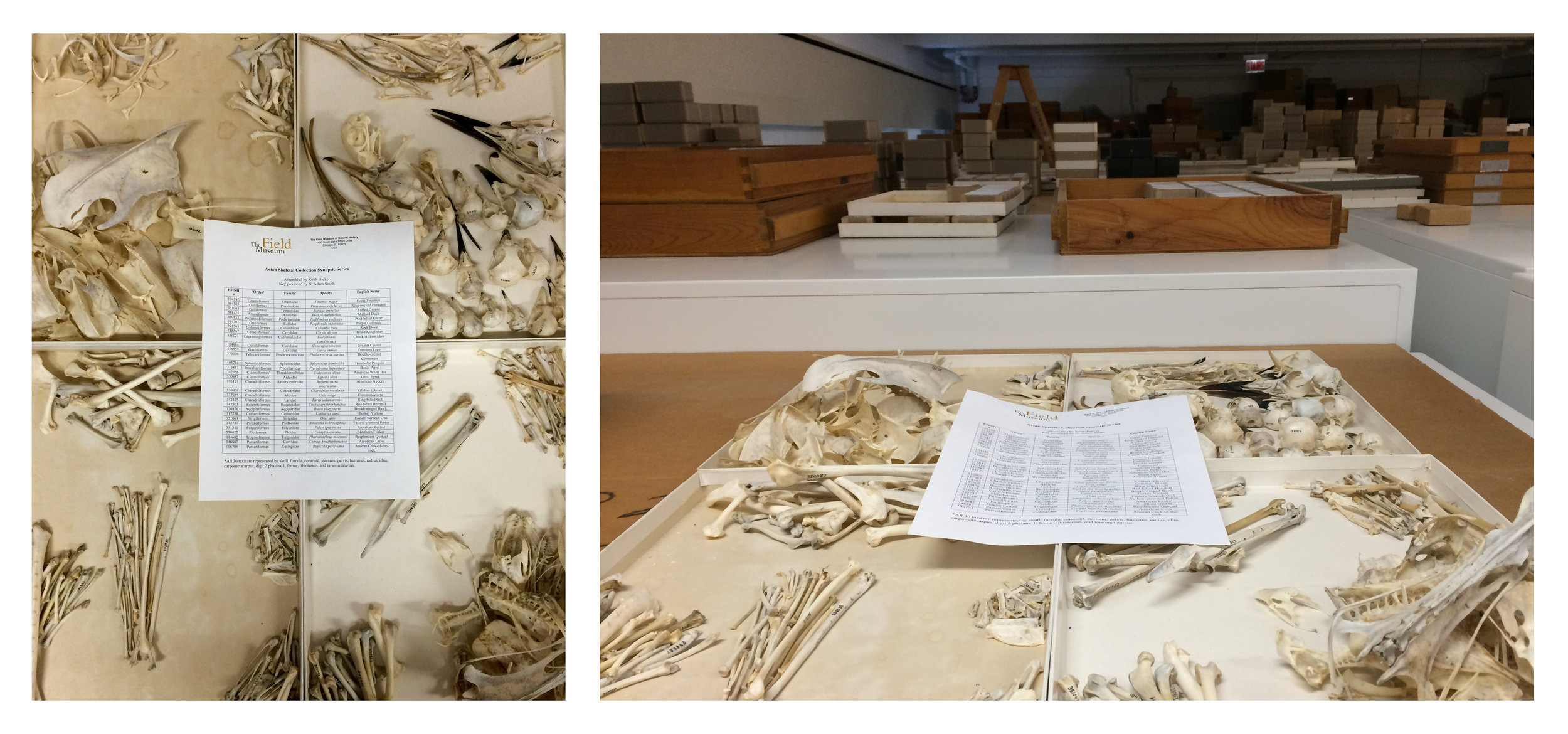 """On the left, a close-up of the Field Museum of Natural History's """"Avian Skeletal Collection Synoptic Series,"""" assembled by Keith Barker, with key produced by N. Adam Smith. On the right, a shot of the synoptic series  in situ . All photos in this post by the author."""
