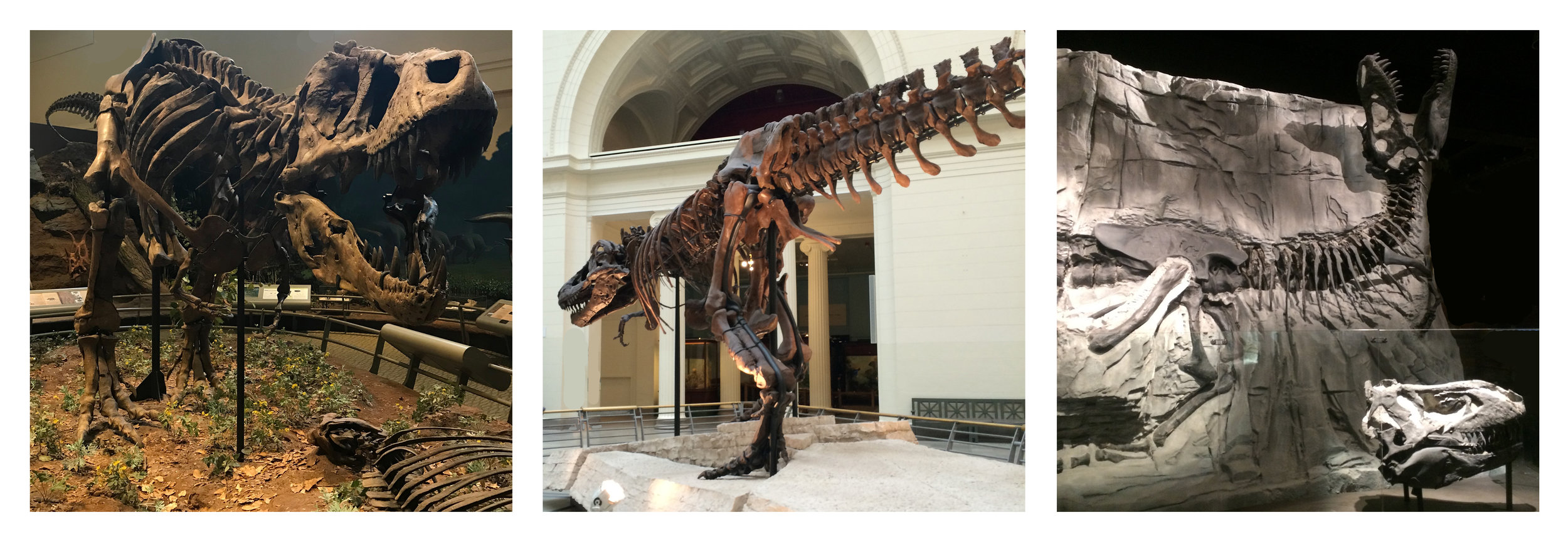 A bevy of beautiful  Tyrannosaurus rex ! On the left, the holotype of the species (CM 9380), on display at the Carnegie Museum of Natural History in Pittsburgh, Pennsylvania. In the middle, the specimen informally known as 'Sue' (FMNH PR 2081), on display at the Field Museum of Natural History in Chicago, Illinois. On the right, the specimen informally known as 'Black Beauty' (RTMP 81.6.1), on display at the Royal Tyrrell Museum of Palaeontology in Drumheller, Alberta.