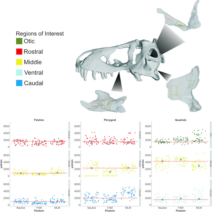 """Figure 8 from Cost et al. 2019, illustrating both the model used in their study (scanned from  BHI 3033, """"Stan"""" ) and the distribution of strains in their study of  T. rex  bite mechanics."""