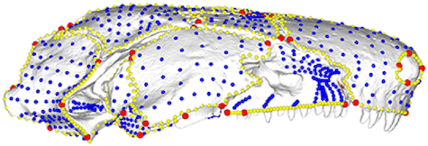 Figure 1 from Bardua et al 2019, showing semilandmarks (blue and yellow points) and biological or geometrical landmarks (red points) on a skull of the caecilian  Siphonops annulatus . An annotated 3D render of this figure is available at  https://sketchfab.com/3d-models/add35e2e8af94839b1f577bfcee32e54 .