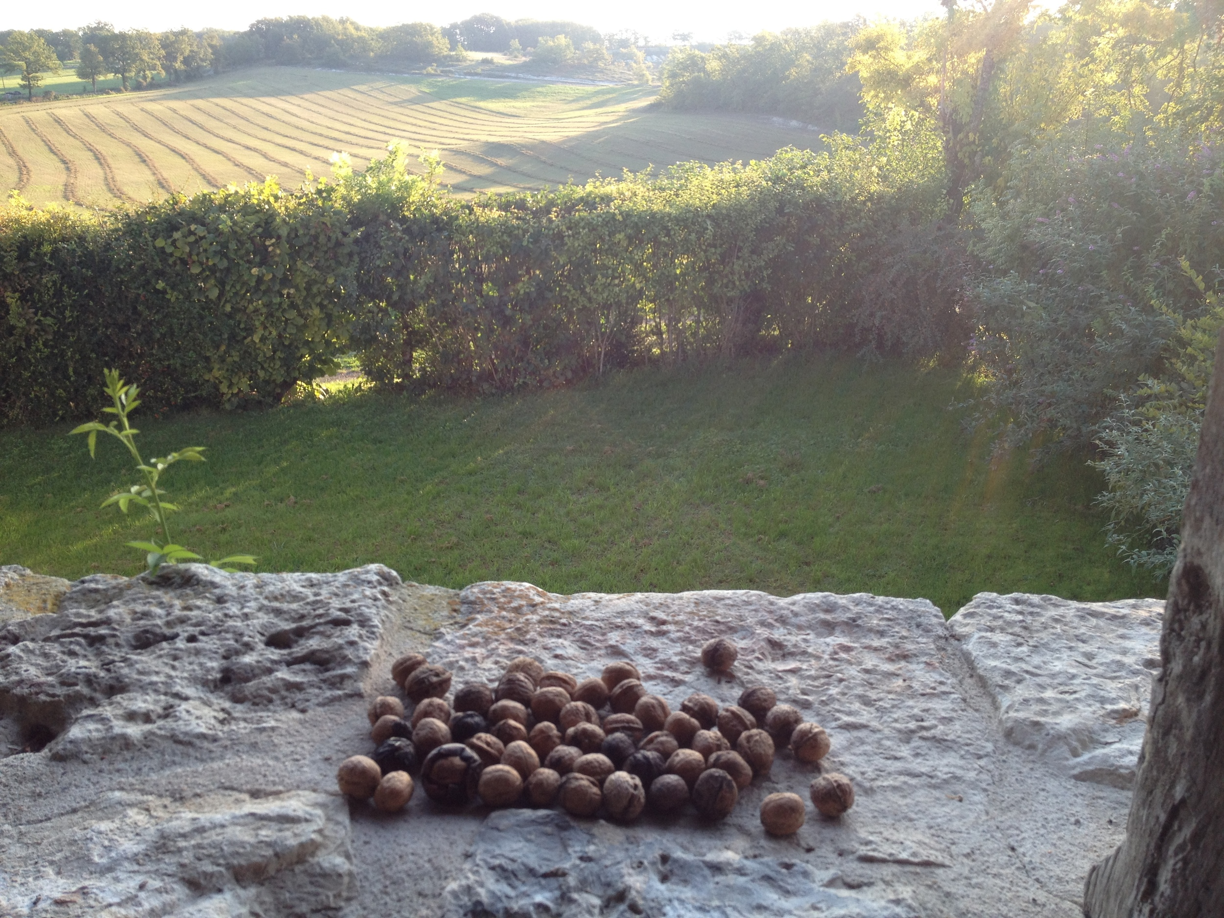 Walnuts drying on the bolly.