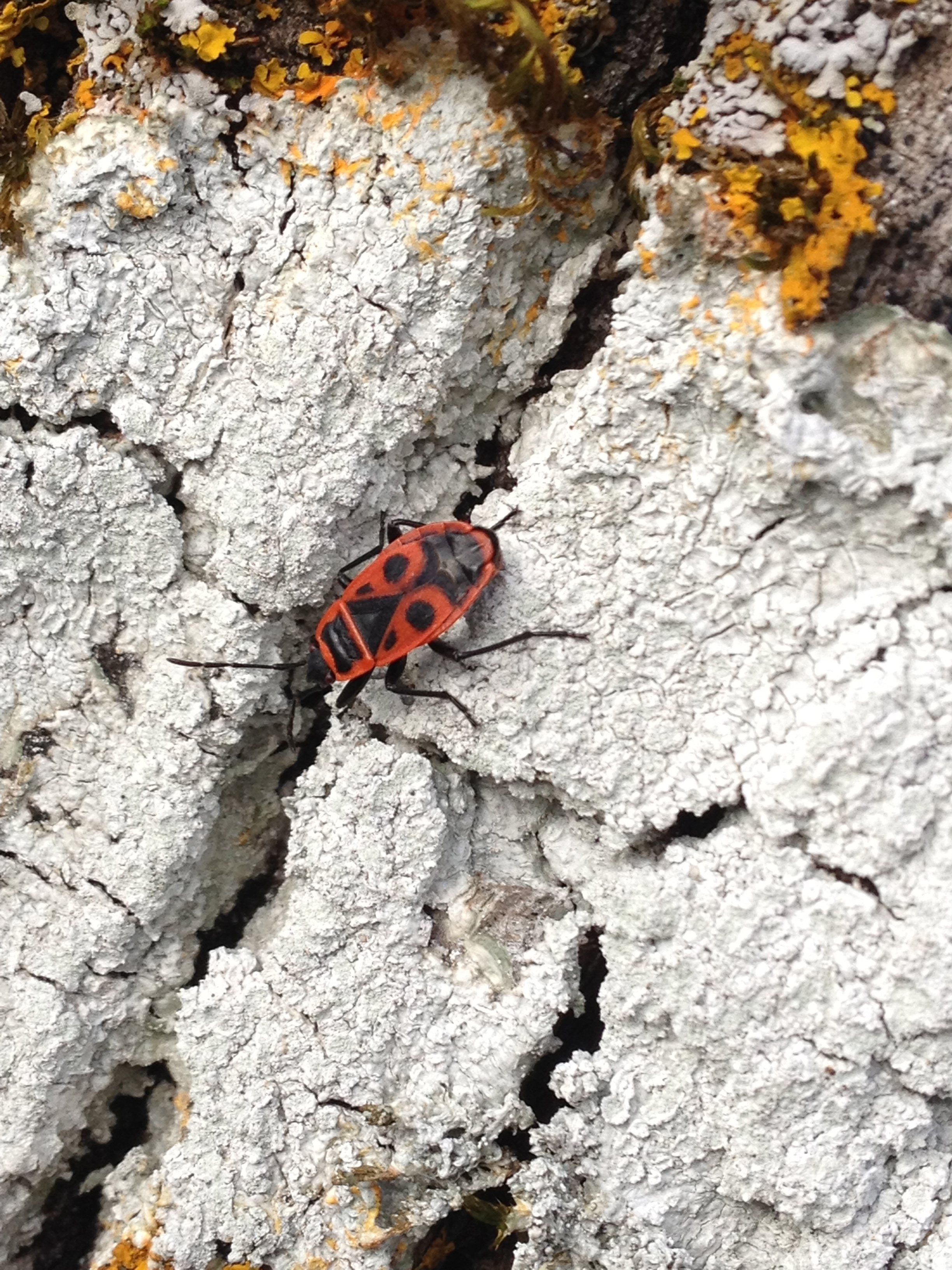 Fire bug ( Pyrrhocoris apterus) in the garden. 21st February 2016.