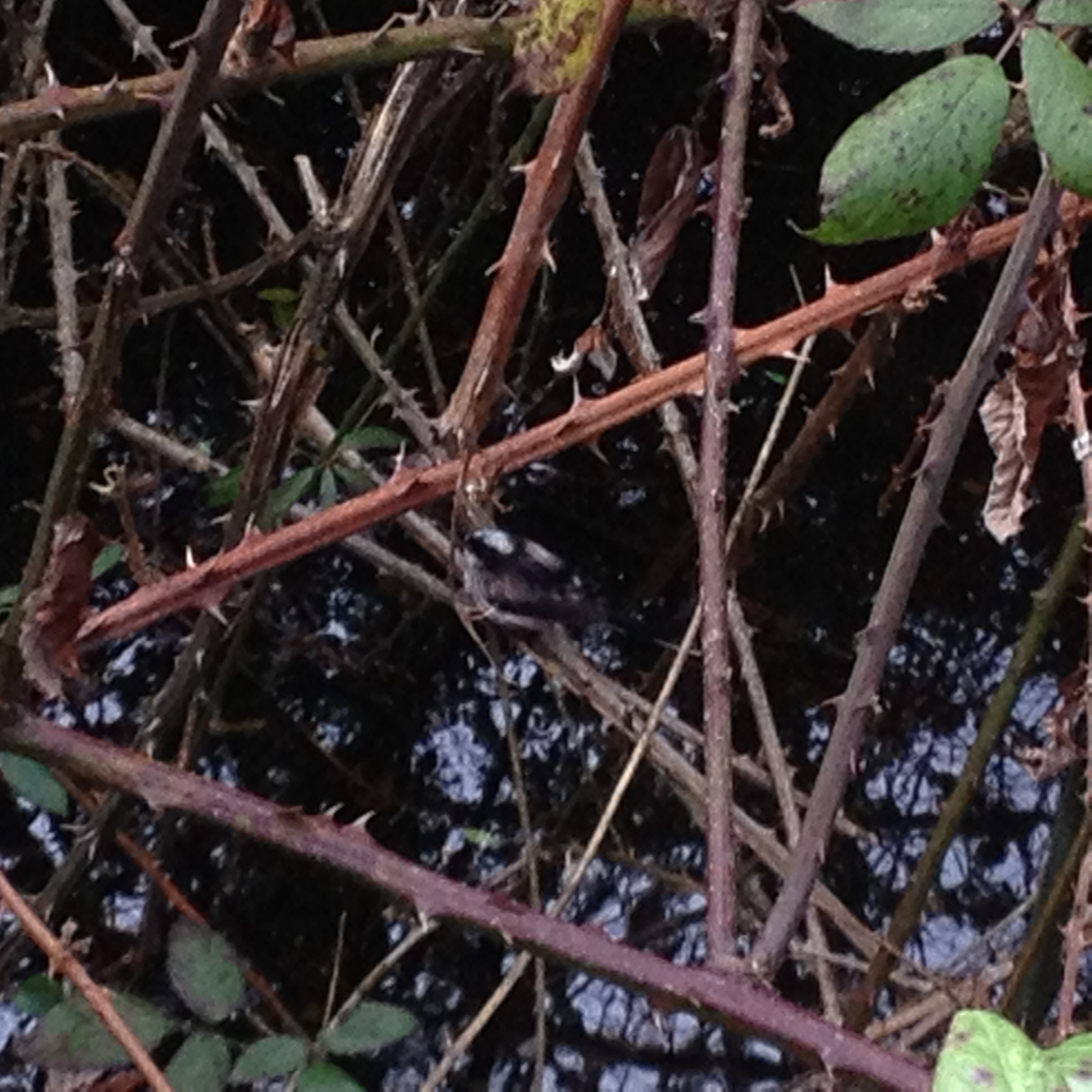 I hope you can see the bird in the centre of the picture, I wonder what it is? The same bird is bathing in the water in the picture below. February 2016.
