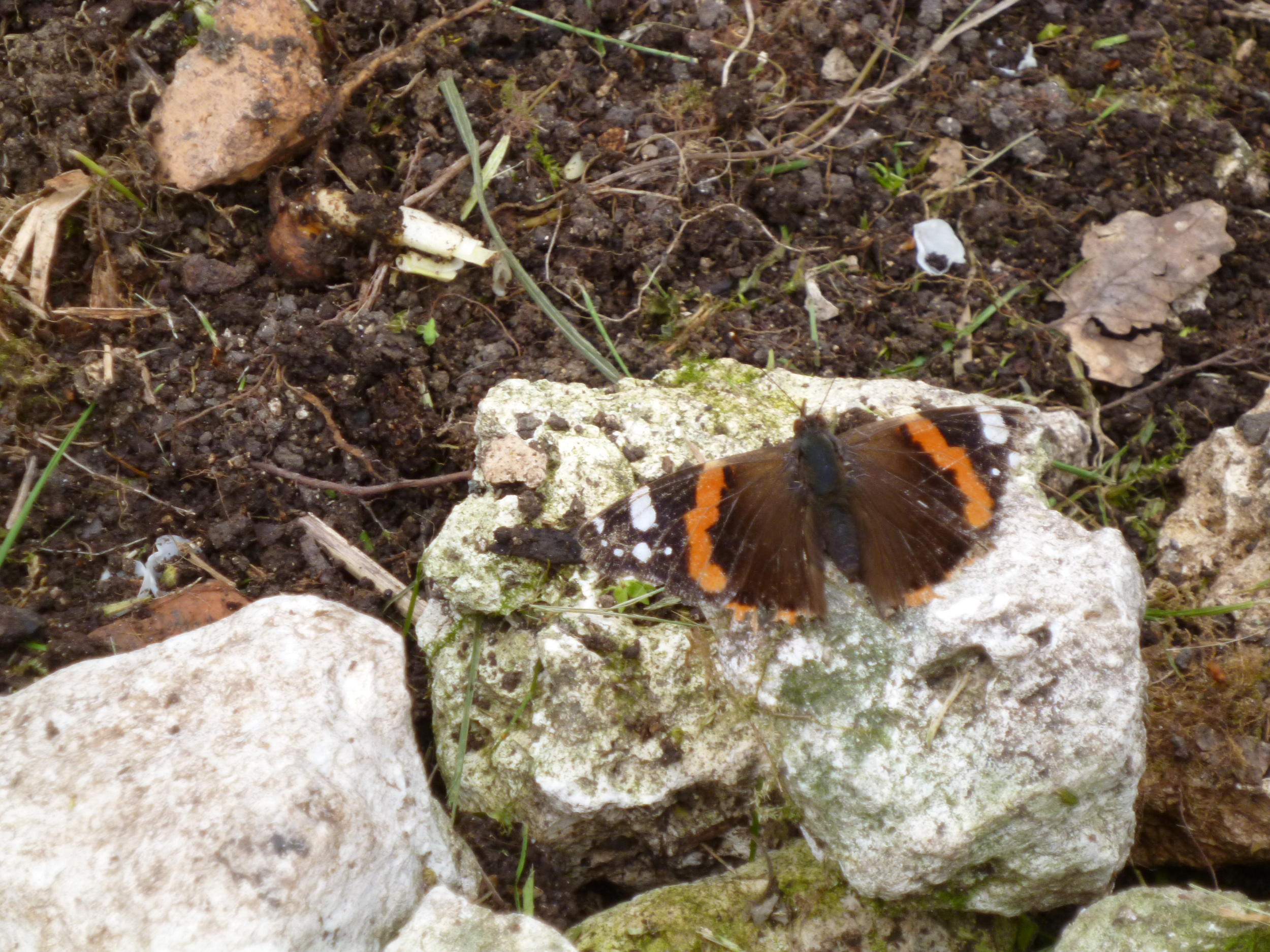 Red Admiral 03/04/16