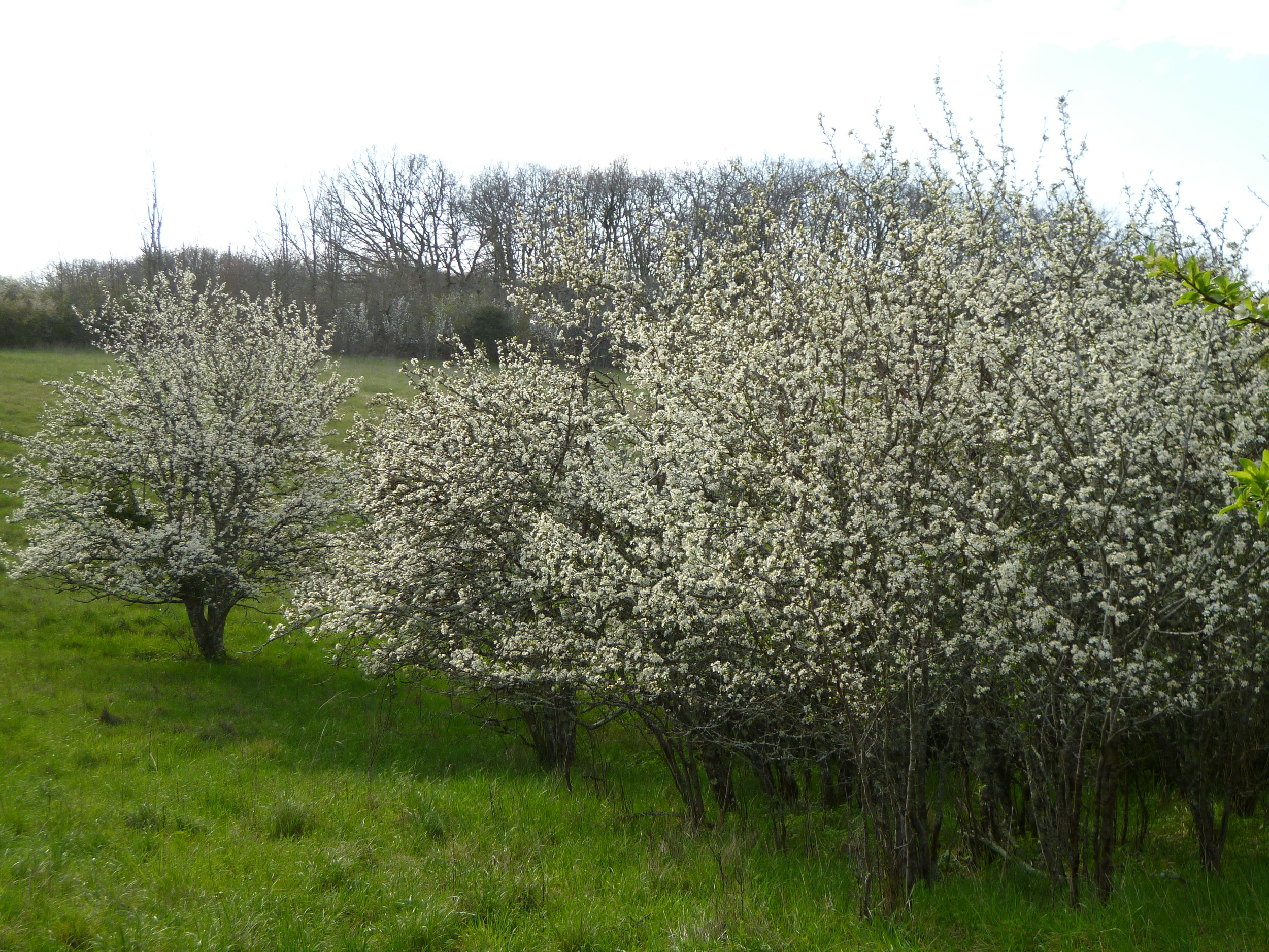A second phase of blossom. Some of the trees in the orchard have already blossomed and now have green leaves.