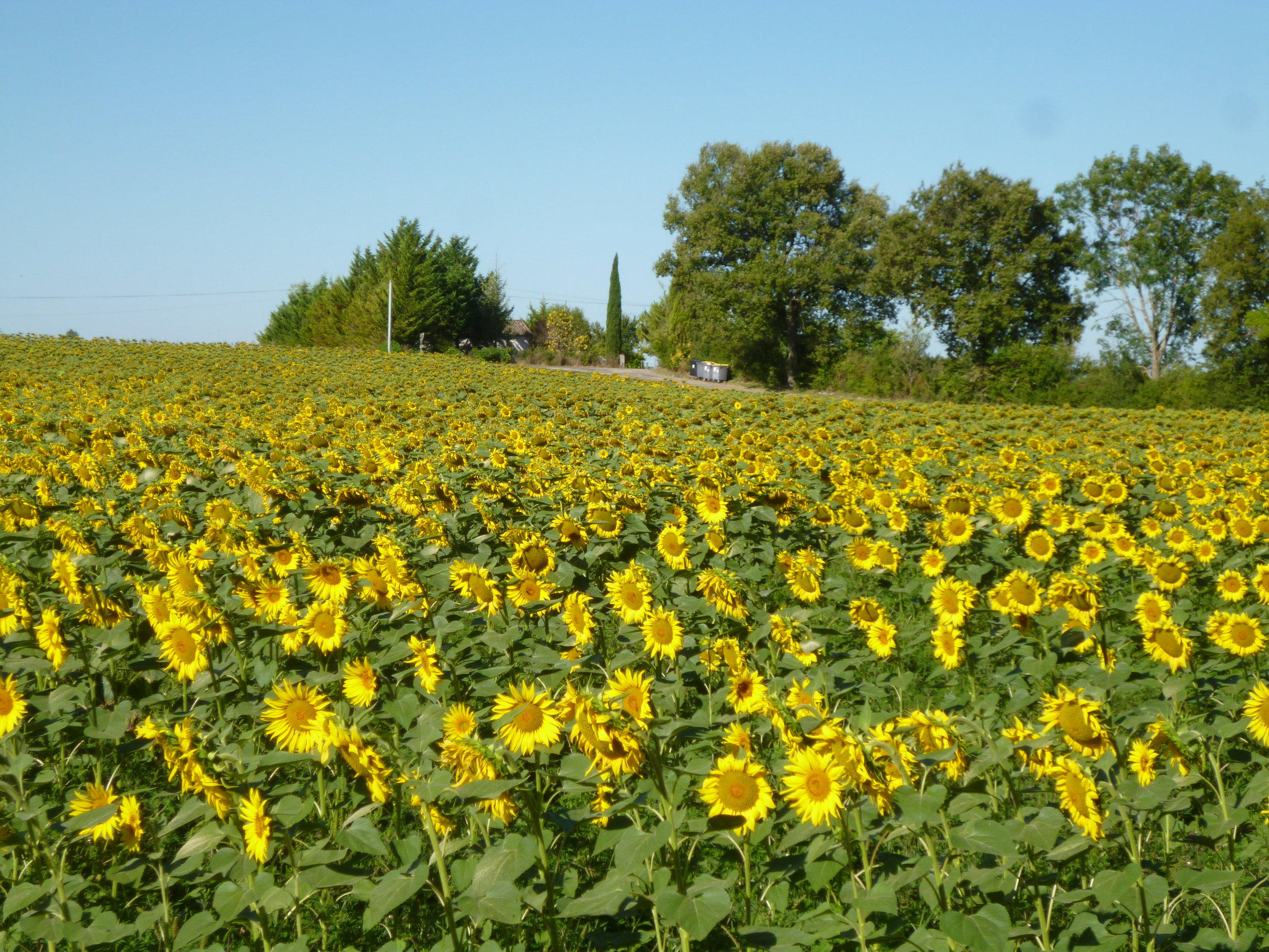 A local sunflower field. It's now a pleasure to go to the bins ( look closely).