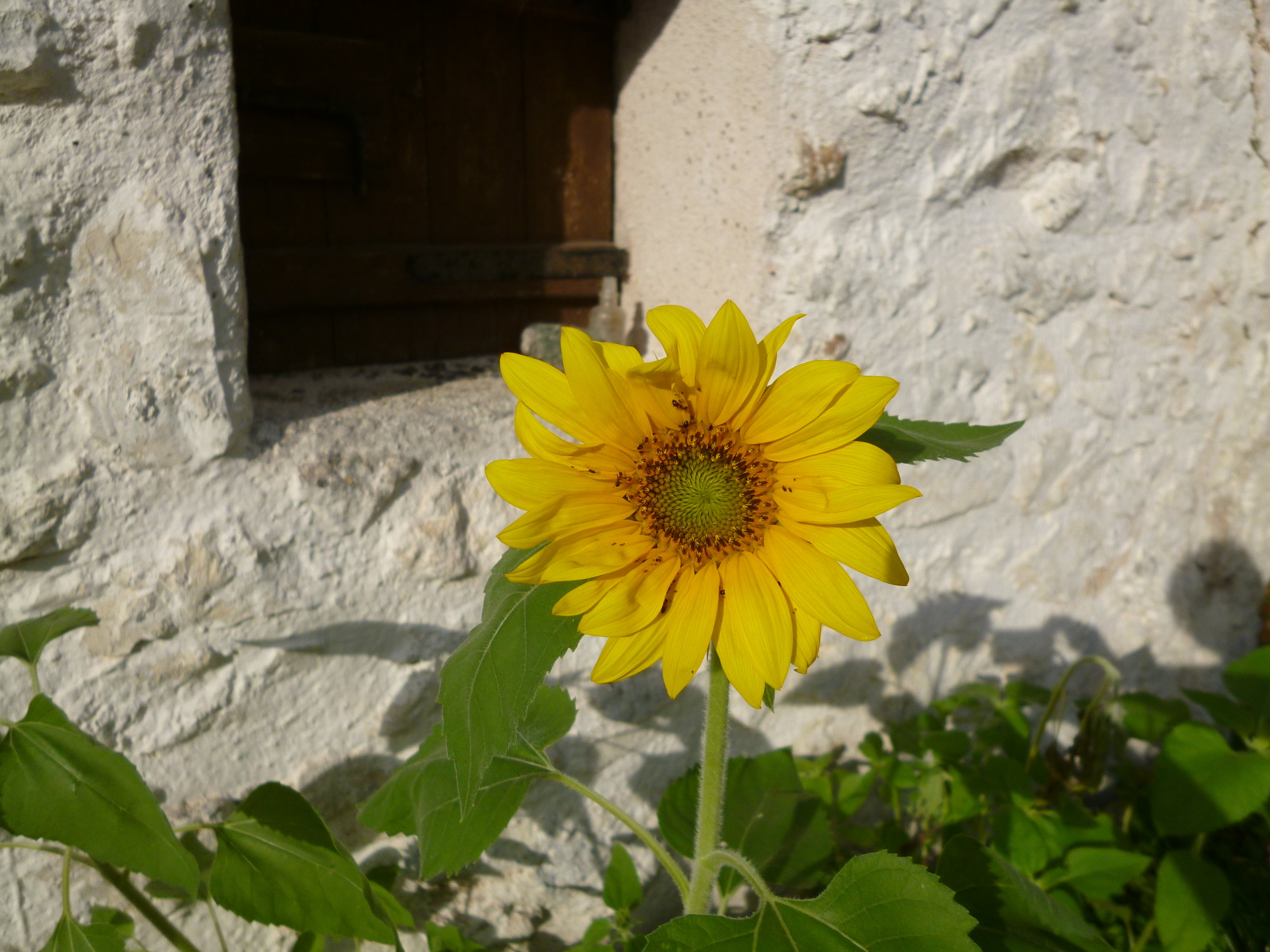 Our very own sunflower. Some of the seeds bought for the birds fell into the planting trough and this is what we got!