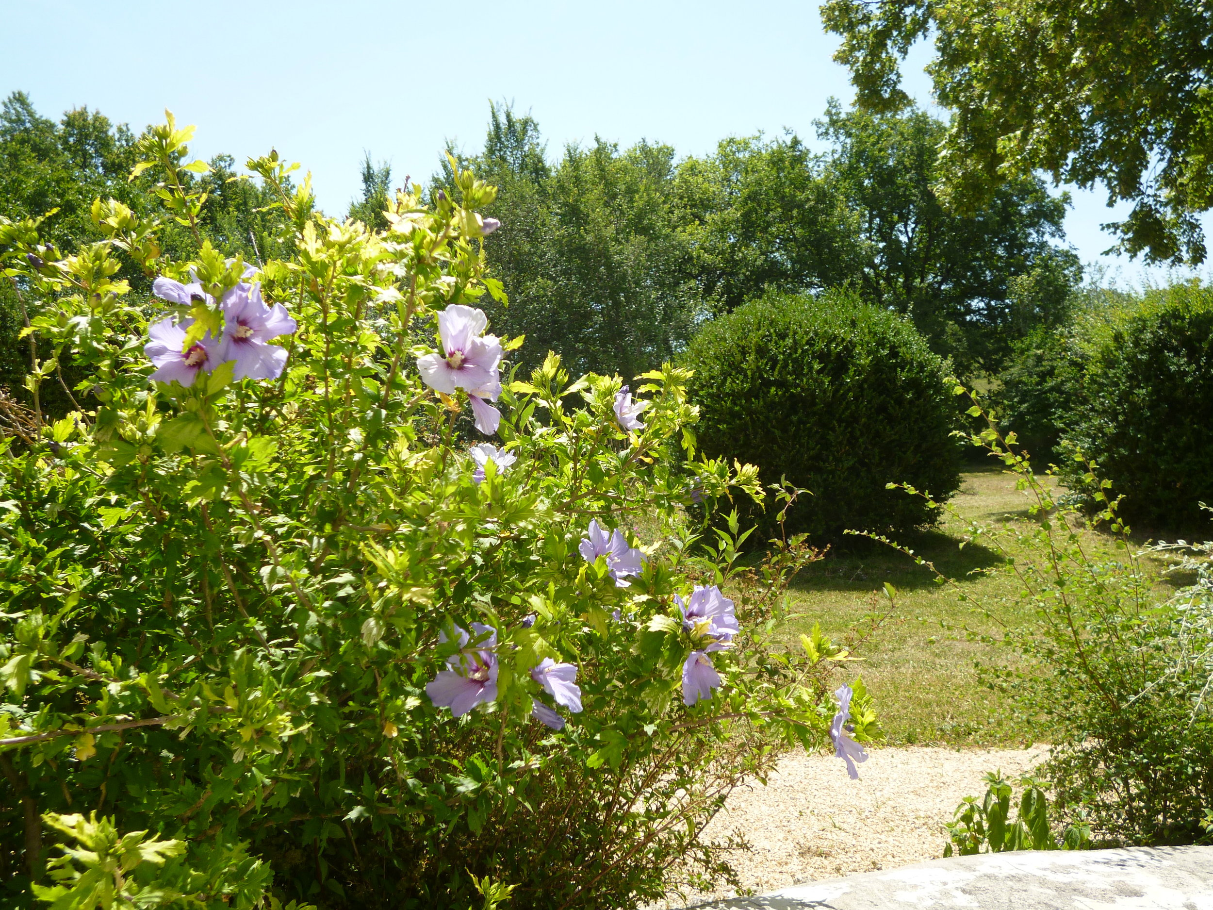 These beautiful hibiscus plants on the south side cope well with the midday sun. The box hedge in the background had already been shaped when we bought the house and so we just have the job of keeping it trimmed.