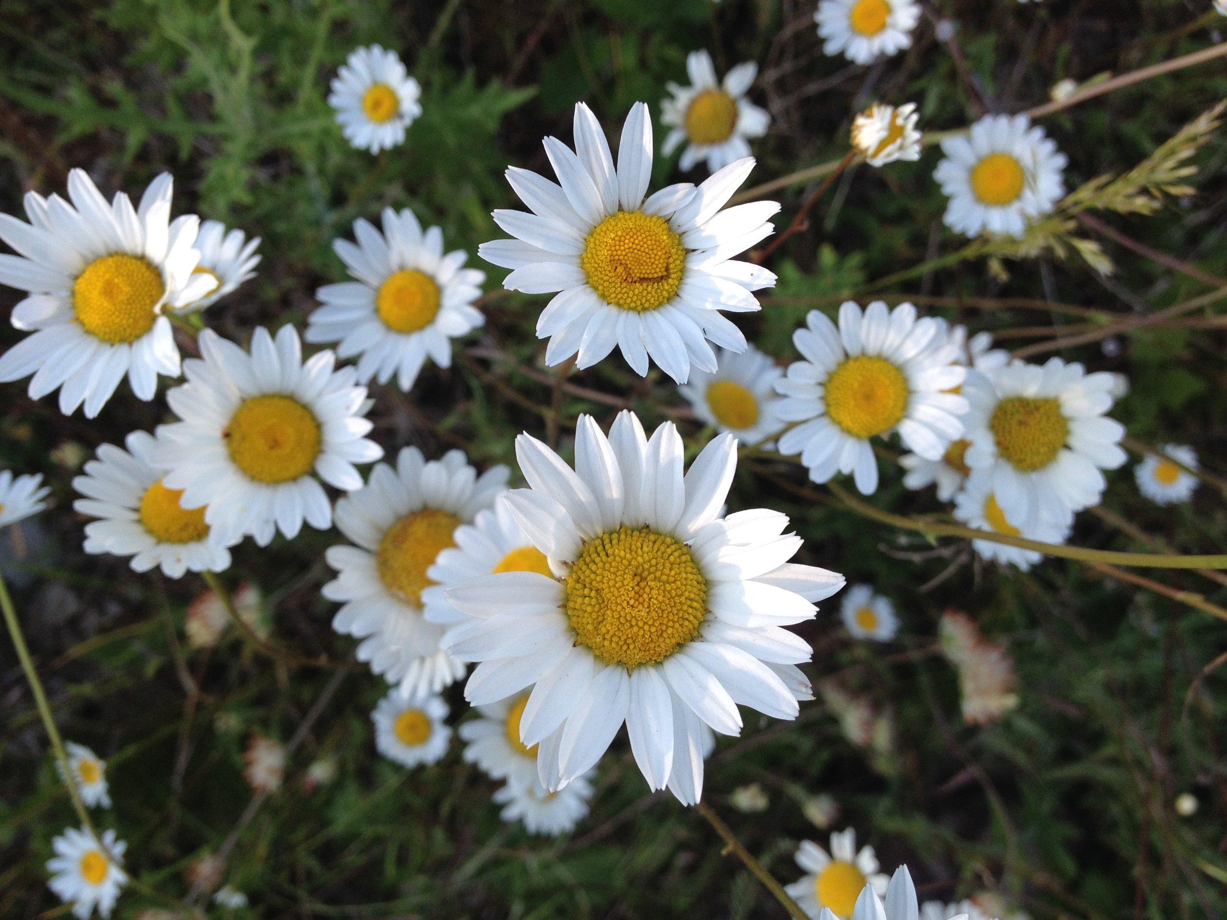 Daisy, Daisy,
