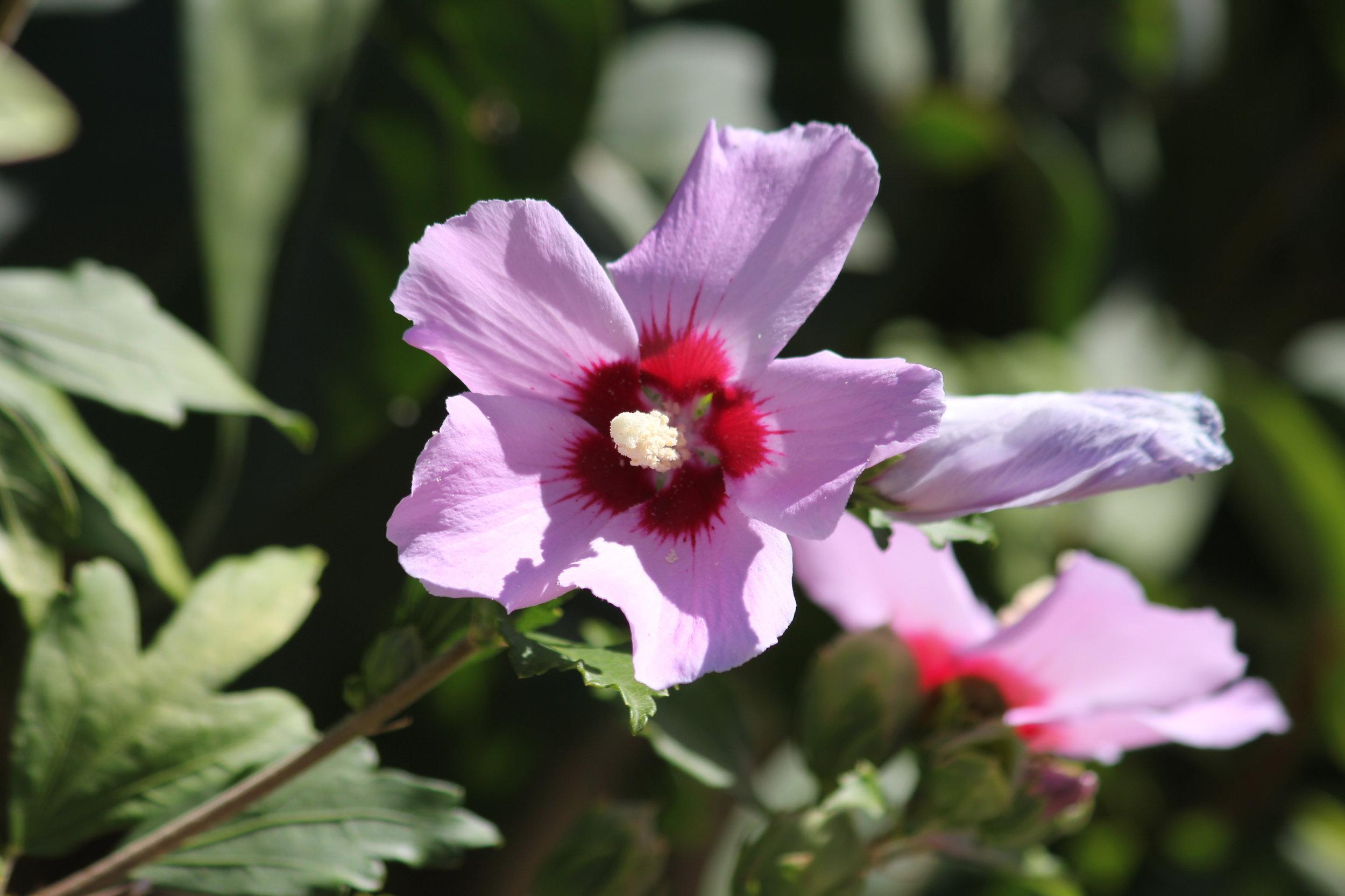 Hibiscus....again